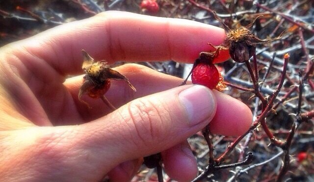 wild rose hip tea- gathering, foraging wild edibles